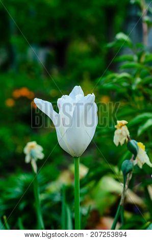 White Tulip On A Flowerbed In Garden