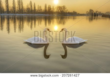 Two white swans on a river at sunset. Swans floating on the river