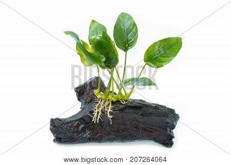 Anubias Barteri Aquarium Plants On Small Driftwood On White Background