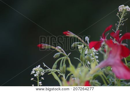 Magnificent flowers of red and white color. The nature is beautiful.