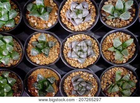 Variety of small cactus in plastic pot plant nursery