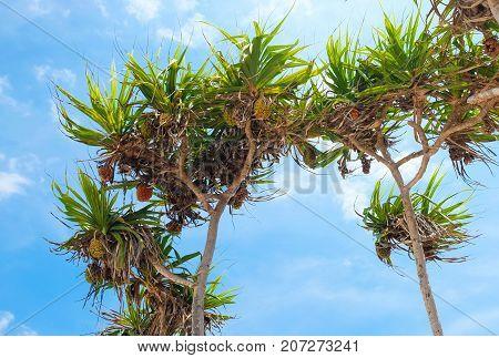 Pandanus palm fruit on the tree. Gili Meno island Indonesia