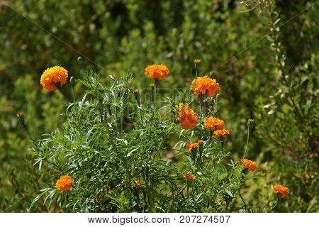 Beautiful small flowers of colors orange. The nature is magnificent.