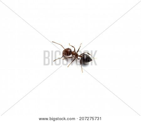 Ant isolated on white background . Photos in the studio