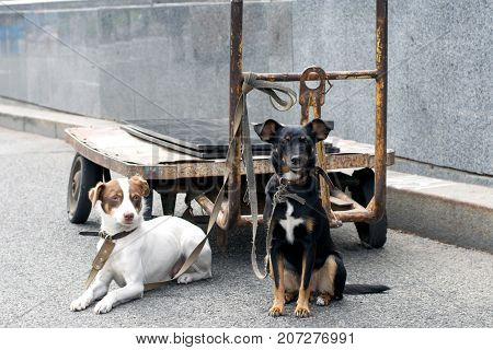 Two dogs cur tied to a truck stand on the street