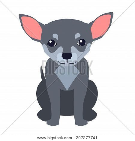 Funny grey chihuahua sitting flat vector isolated on white background. Lovely purebred dog illustration for animal friends and companions concepts, pet shop ad