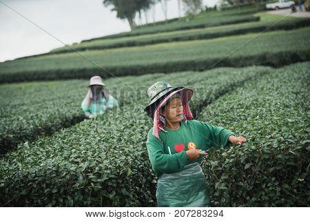 CHIANG RAI THAILAND - AUGUST 19: woman picks tea despite ongoing labor strikes on August 19 2017 in Chiang rai Thailand.