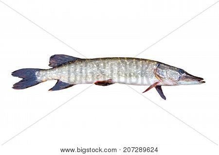 European pike isolated on white background. Esox lucius