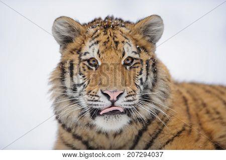 Siberian tiger cub portrait in winter time