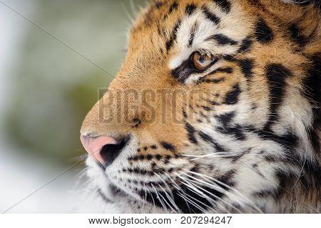 Closeup portrait of amur tiger. Tiger face detail.