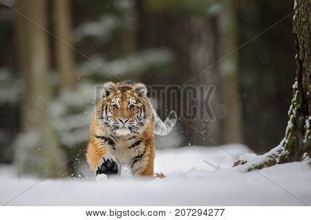 Tiger running in winter forrest on snow