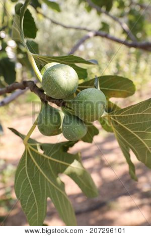 Growing fig fruits on branches of a fig tree. Vertical. Close-up.