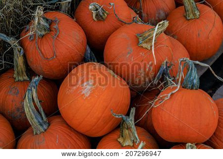 Assorted small orange pumpkin squash with stalks and hay