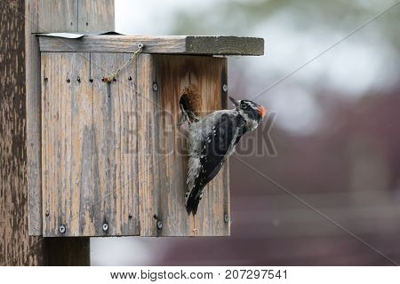 Male Downy Woodpecker At Vancouver Bc Canada 2017 Sep.