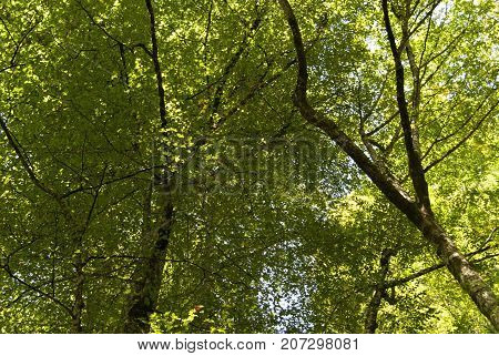 sunlit crowns of deciduous trees in the forest view from the ground from the bottom up
