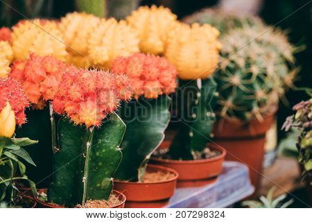 Several Little Small Colorful Cacti Cactus Flowers In Pots In Store Market.