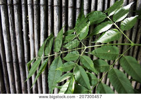 Green leaves on background of bamboo style old fence