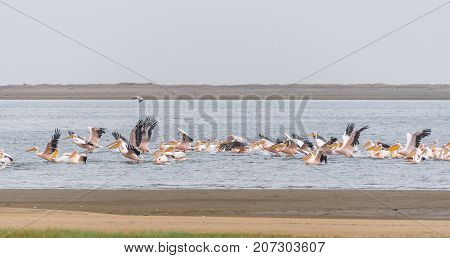 Great white pelicans landing in the lagoon in Walvis Bay in Namibia