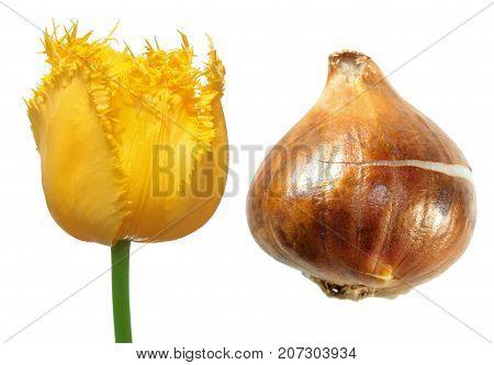 Yellow fringed tulip flower with tulip bulb isolated on white background