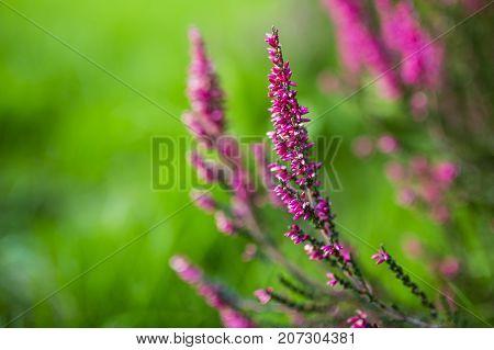 Purple heather flowers in autumn garden. Nature background.
