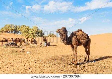 Camel In Erg Chebbi Sand Dunes Near Merzouga, Morocco