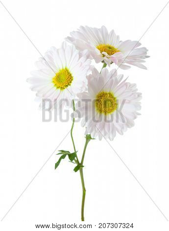 Branch with three flowers of  chrysanthemums isolated on white background.