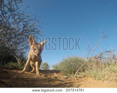 Black-backed Jackal pup