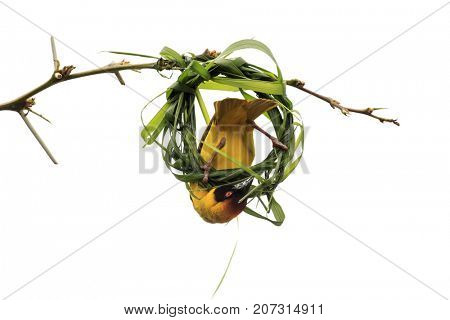 Masked Weaver bird building nest