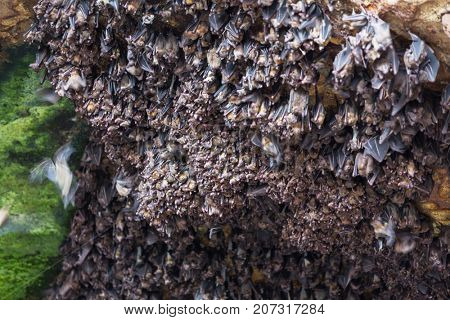 Bat group in grotto