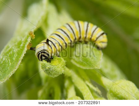 Very small second instar Monarch butterfly caterpillar eating on a Milkweed bud