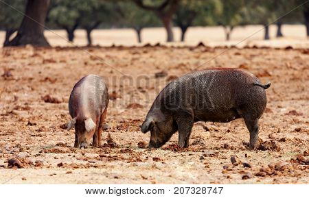 Iberian pigs grazing among the oaks in the field of Spain
