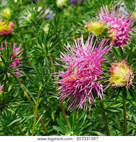 Bright pink asters on flowerbed in the park. Floral background.