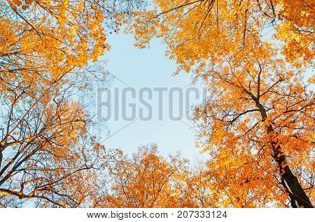 Forest autumn trees. Golden forest autumn trees tops on the background of blue sky. Autumn forest background with yellowed autumn treetops in the autumn forest. Forest autumn landscape