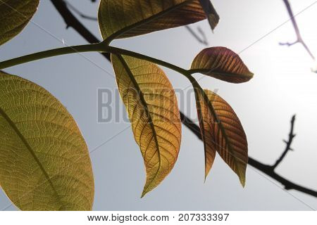 Green leaves of a walnut tree against a blue sky background