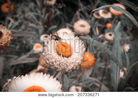 Bumblebee on white flower of white daisy similar to daisy on green turquoise background close-up