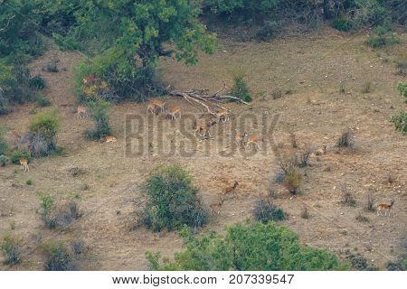Large group of fallow deer in the wild, long shot