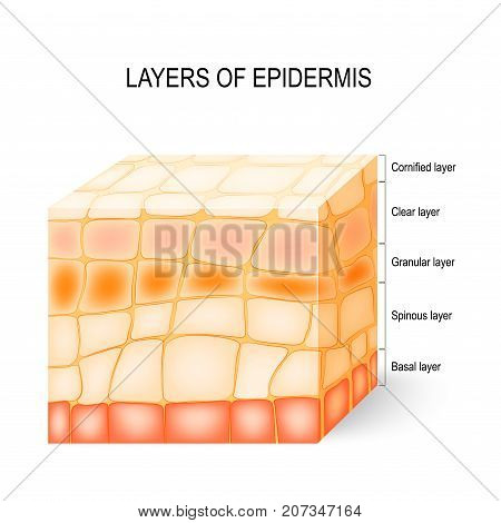Layers of epidermis: cornified clear granular spinous and basal layer. Illustration showing a section of epidermis with epidermal layers labeled.