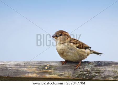 House Sparrow (Passer domesticus) female sitting on a wooden fence