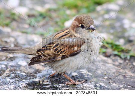 Female House Sparrow (Passer domesticus) on stone floor