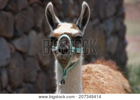 Lama looking in the camera with large ears