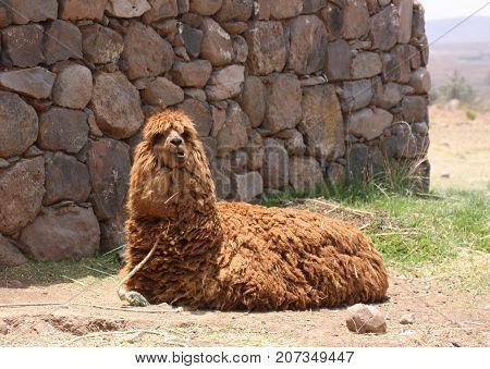Alpaca very furry laying on the ground