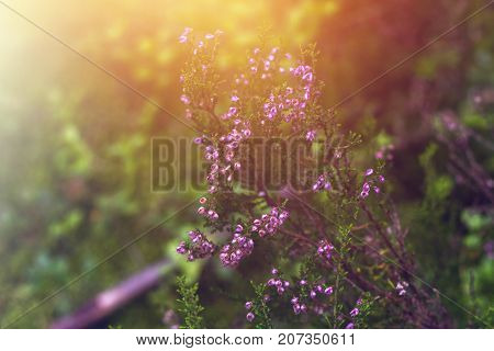 Violet Flowers Of Heather In The Forest.