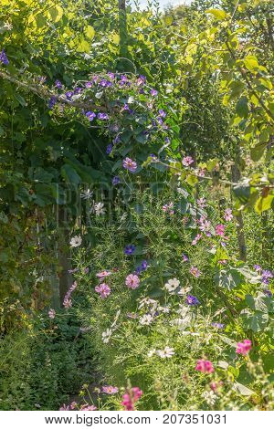 Garden with Ipomoea morning-glory flowers on a sunny day