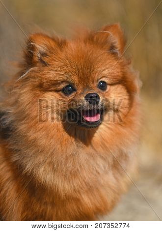 portrait of a brown pomeranian spitz in nature