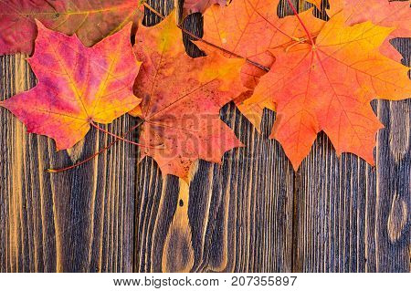 Autumn background with colorful fall maple leaves on rustic wooden table.  Concept Thanksgiving holidays. Studio Photo