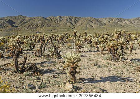 Cholla Garden in the Desert in Joshua Tree National Park in California