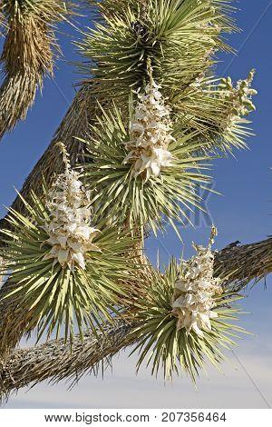 Joshua Tree Flowers in the Spring in Joshua Tree National Park in California
