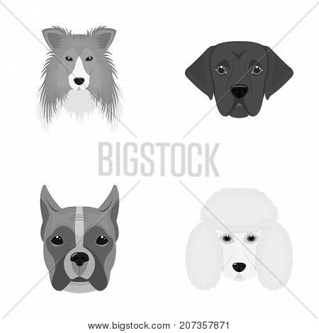 Muzzle of different breeds of dogs.Collie breed dog, lobladore, poodle, boxer set collection icons in monochrome style vector symbol stock illustration .