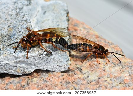 The Cicada Killer Wasp, otherwise known as the Cicada Hawk or Sand Hornet of the species Sphecius speciosus mating.