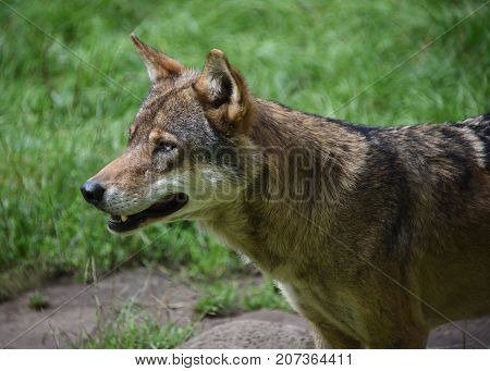 hungry wild wolf prepared to hunt in the forest